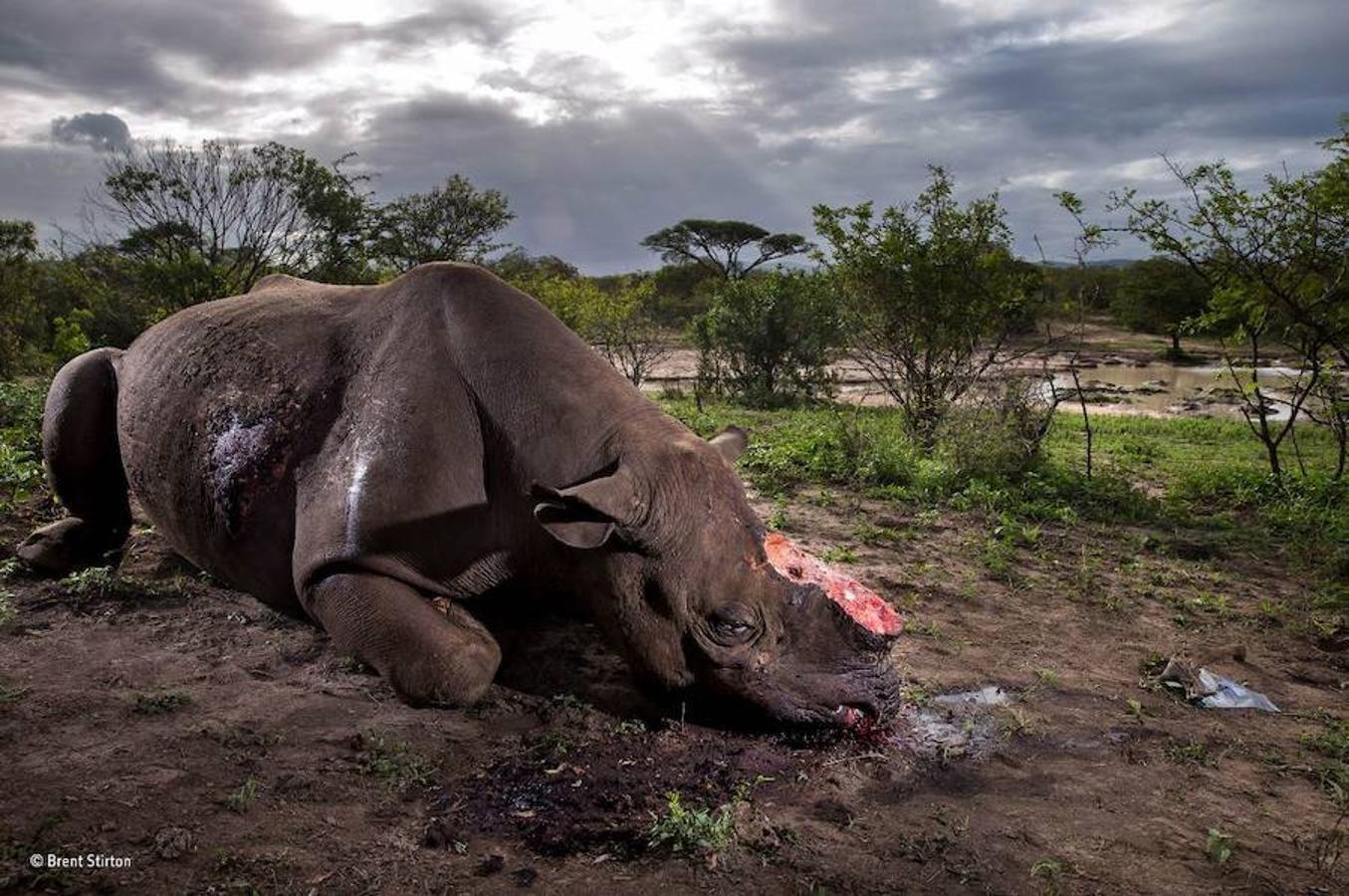 Un rinoceronte mutilado, fotografía vencedora en los premios del Museo de Historia Natural de Londres